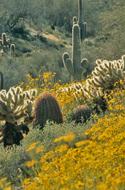 Sonora-Wüste mit Wildblumen und Chollas